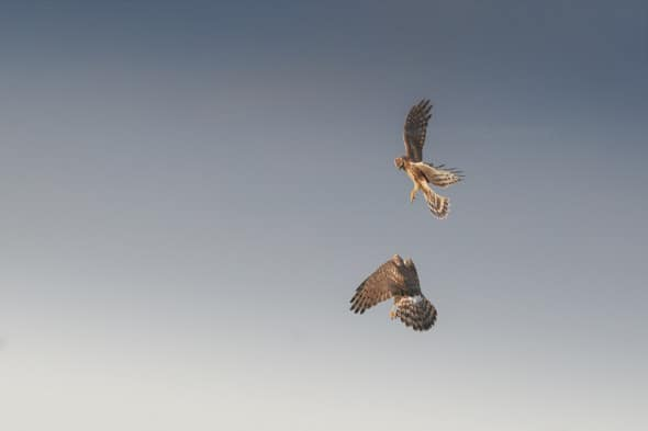 Hen Harriers Playing in the Air
