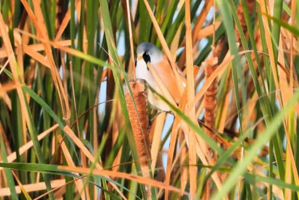 Reedling in the Reeds