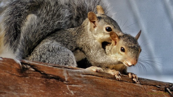 I Love You Mommy - Yucatan Squirrel
