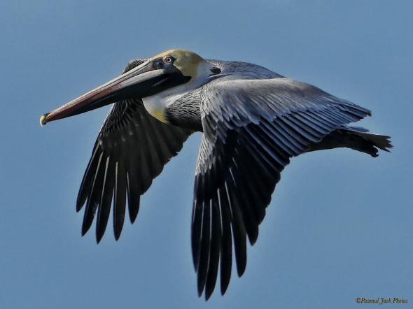 In Flight - Brown Pelican