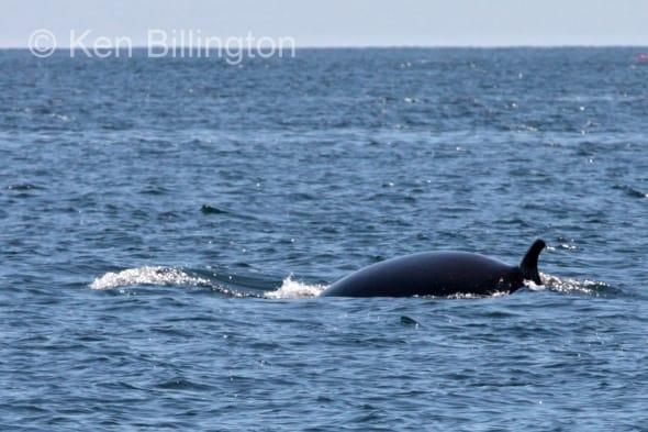 Minke Whale, (Balaenoptera acutorostrata) (2)