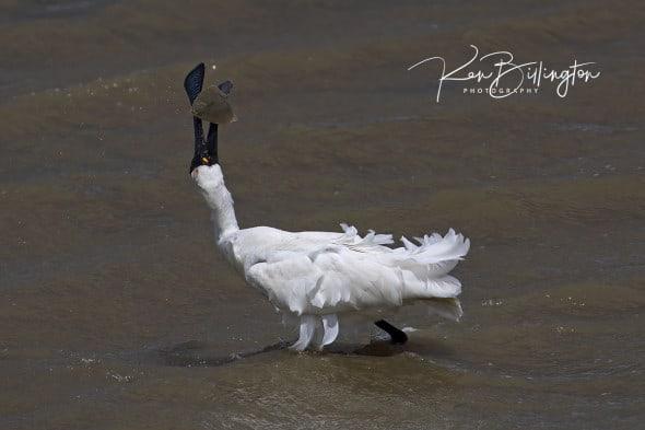 Caught It! Royal Spoonbill Fishing