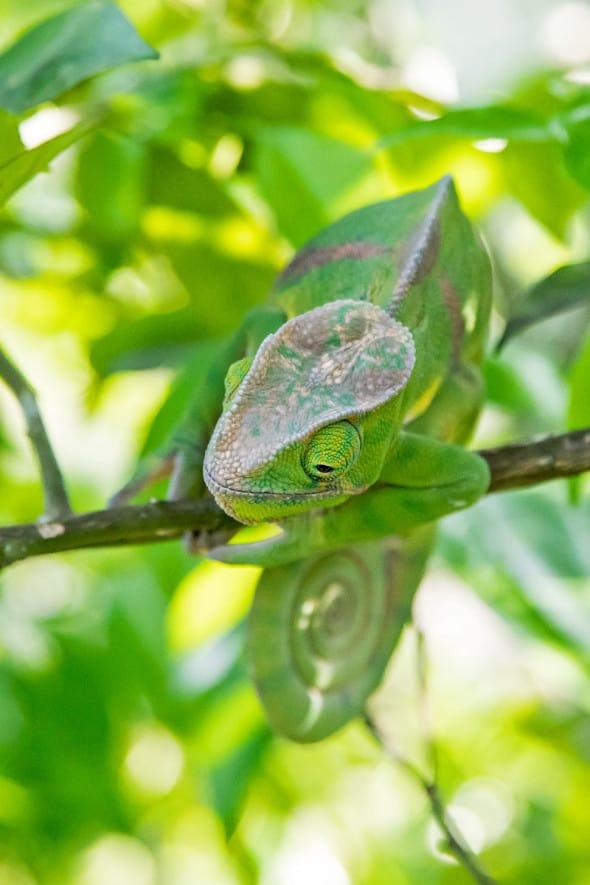 Chameleon, Two-banded