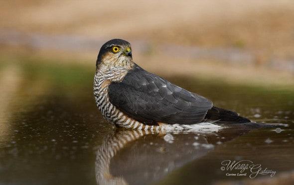 Sparrowhawk About to Bathe