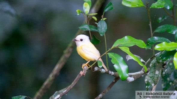Leucistic Pale Yellow Robin