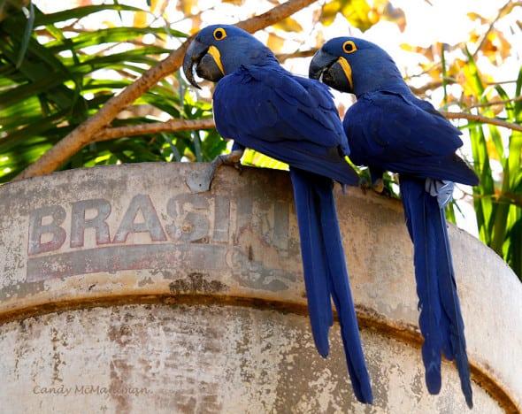 Brasil-hyacinth Macaws