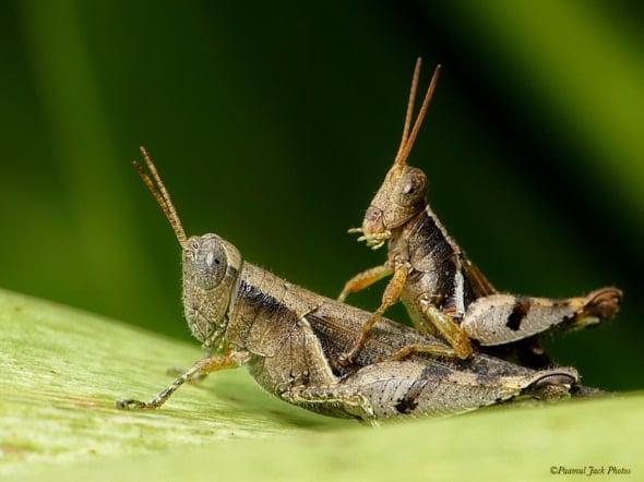 Rare Sight (Scudderi Grasshopper - Mating)