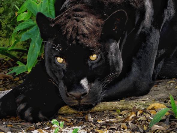 Something Looks Suspicious (Yucatan Panther)