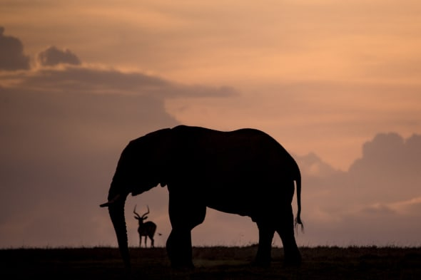 Evening Elephant with Impala