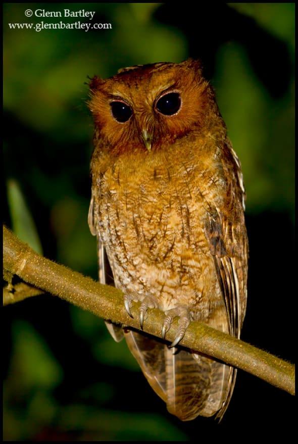 Rufescent Screech Owl