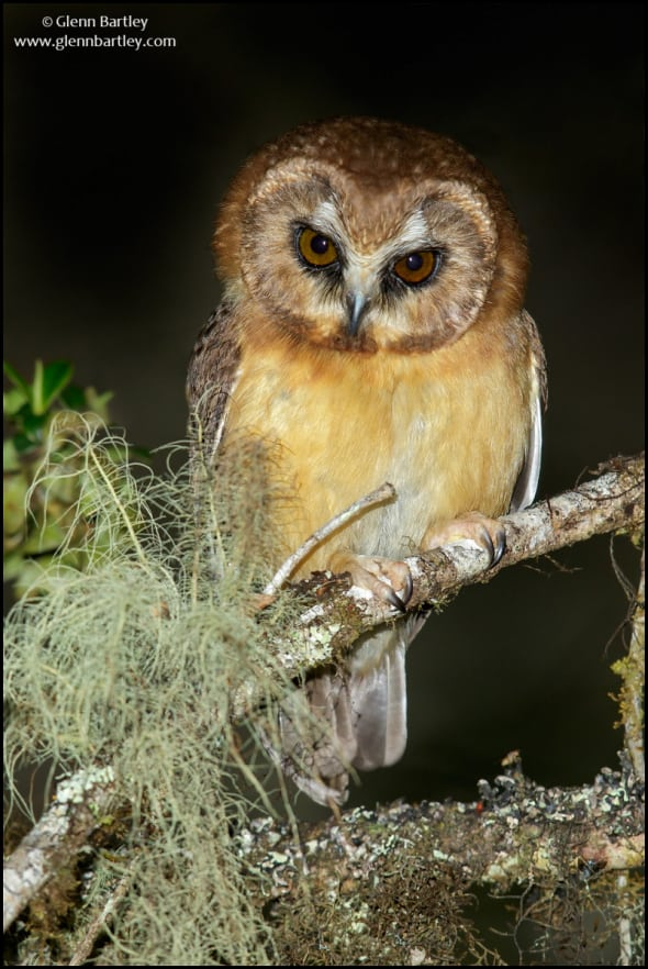 Unspotted Saw Whet Owl