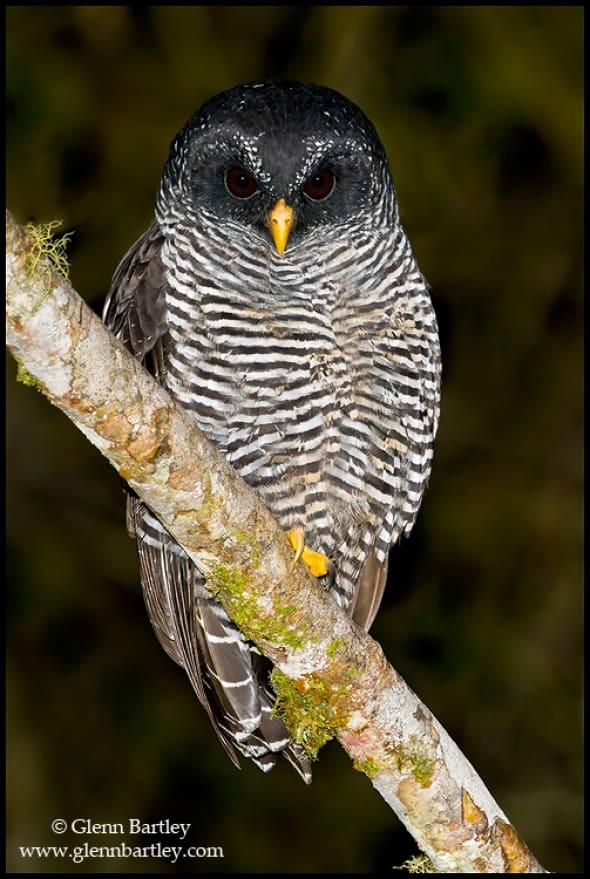 Black-banded Owl (San Isidro)