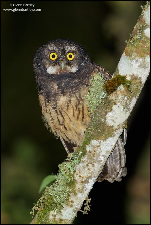 White-throated Screech Owl