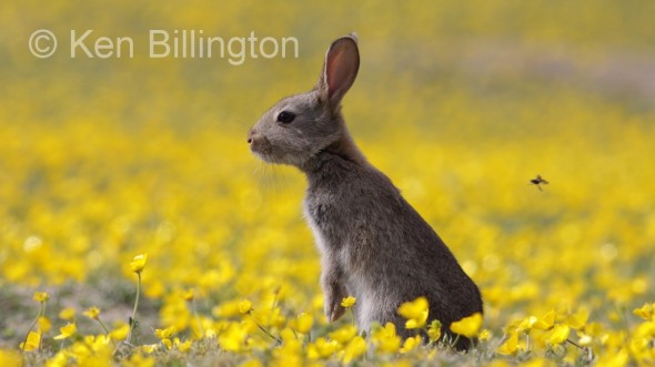 Rabbit (Oryctolagus cuniculus) (12)