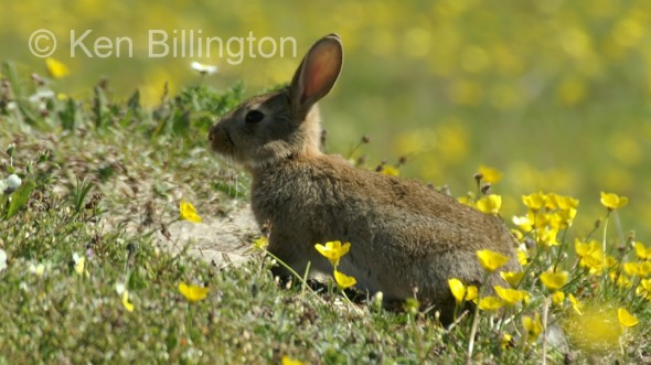 Rabbit (Oryctolagus cuniculus) (2)