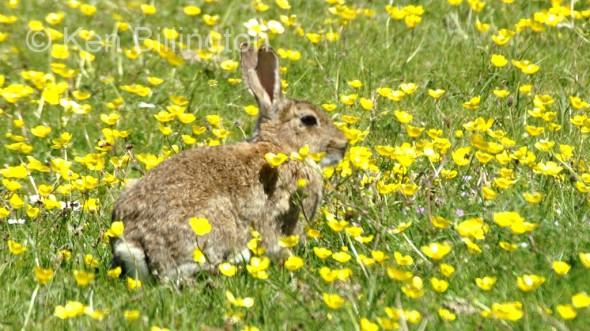 Rabbit (Oryctolagus cuniculus)