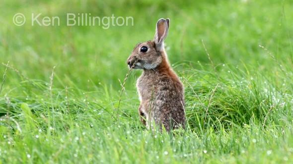 Rabbit (Oryctolagus cuniculus) (7)