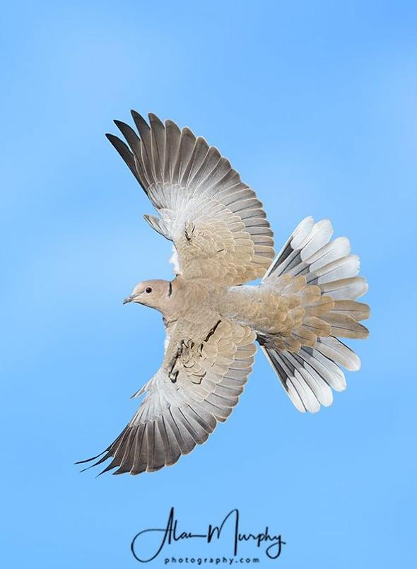 Eurasian Collard-dove