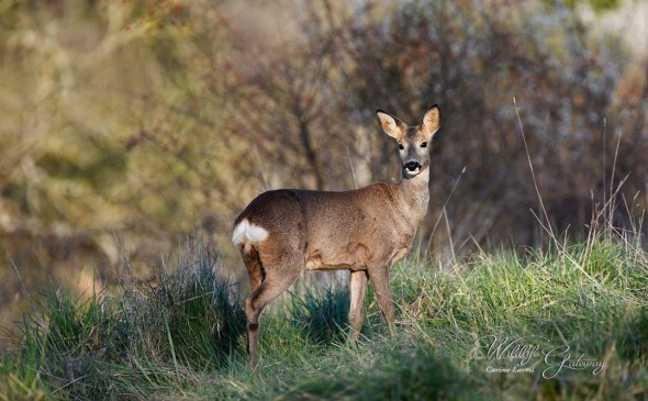 Roe Deer on Alert