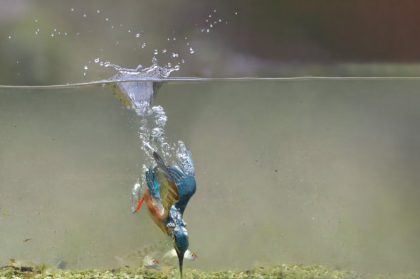 Kingfisher Dives to a Prey