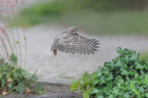 Juvenile Little Owl Flies up