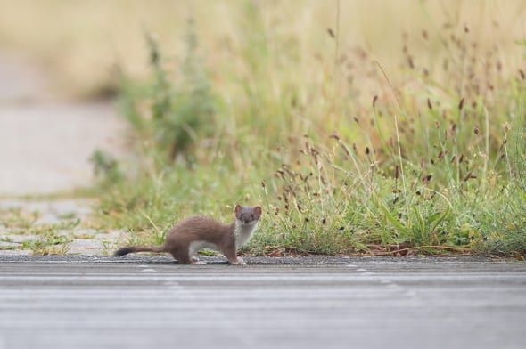 Stoat Looks up