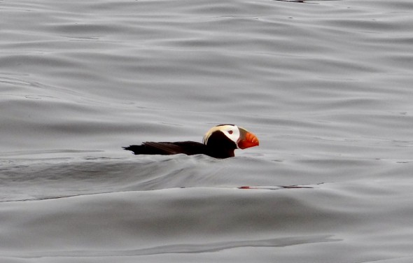 Peace (Horned Puffin)