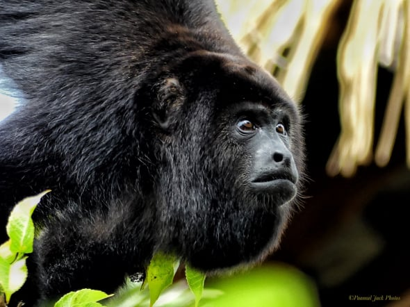"""What's Happening Out There?"" (Howler Monkey)"