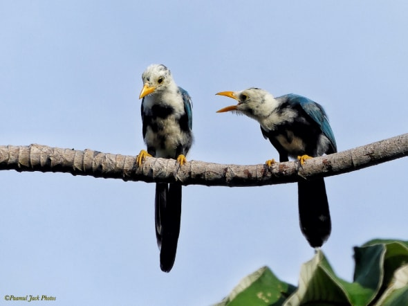 """What Have You Done?!"" Yucatan Jays Juveniles"