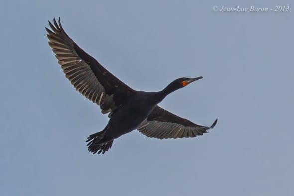 Cape Cormorant Phalacrocorax Capensis