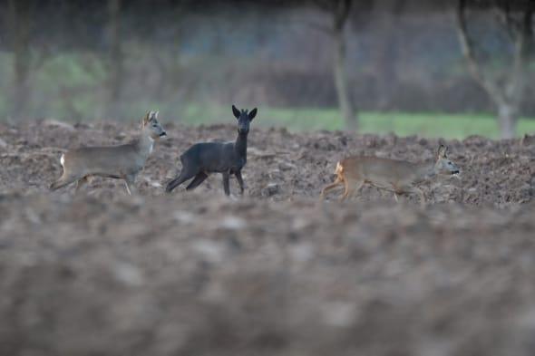 Black Roe Deer