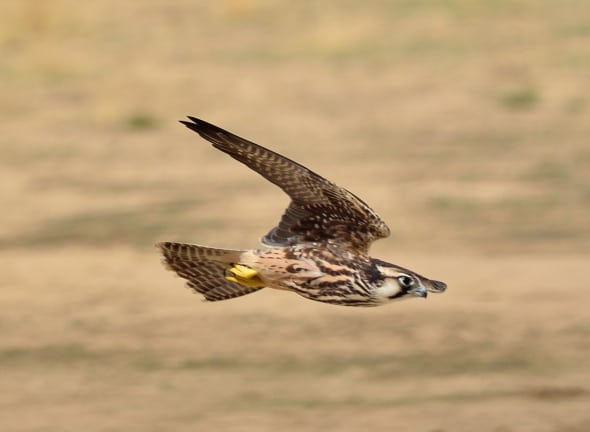 Need for Speed, Lanner Falcon Attack