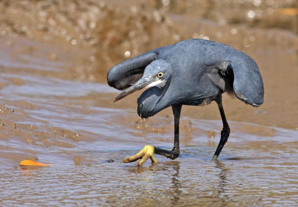 Western Reef Egret in Full Hunting Action