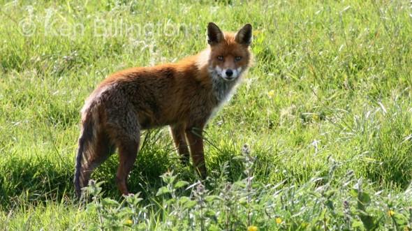 Red Fox (Vulpes vulpes) (6)
