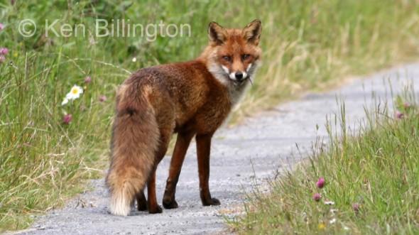 Red Fox (Vulpes vulpes) (8)