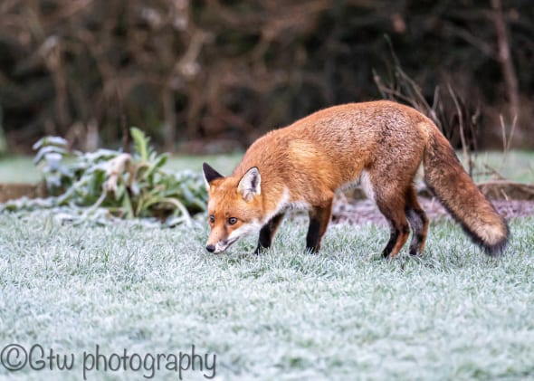 Fox in the Frost
