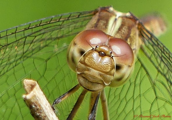Brown Setwing Dragonfly