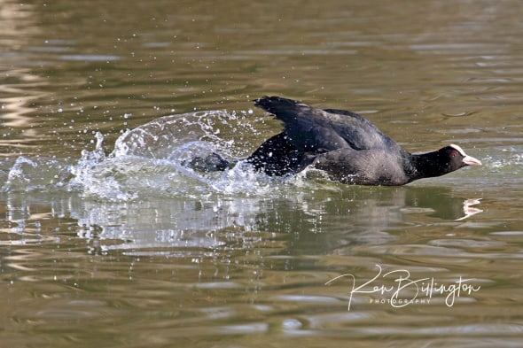 Jet-propelled Coot
