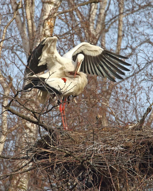 Love is in the Air - White Storks Mating