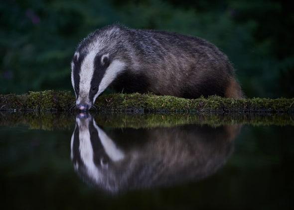 Thirsty Badger