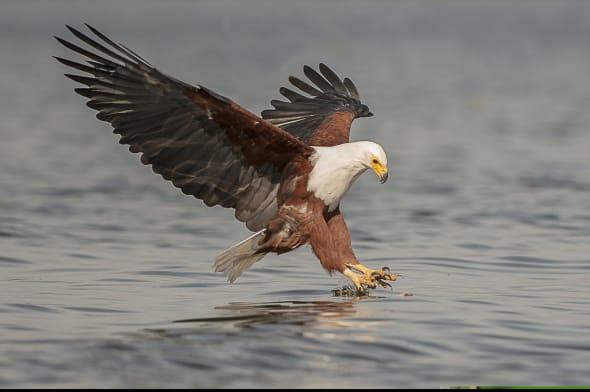 Gotche - (African Fish Eagle)