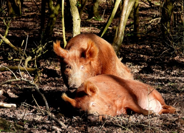 Wild Pigs in Paradise