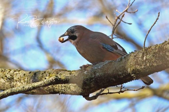 Mighty Oaks from Little Acorns - Eurasian Jay