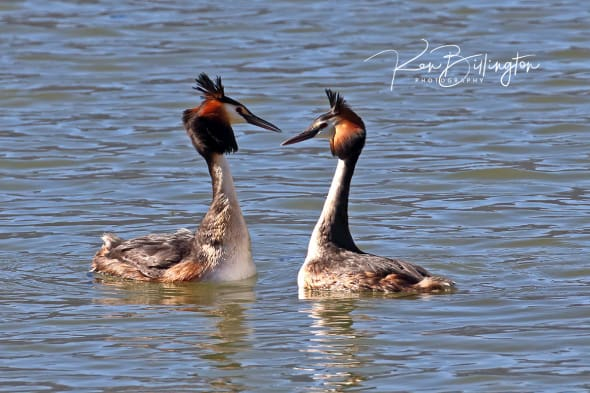 Love is in the Air - Great Crested Grebes