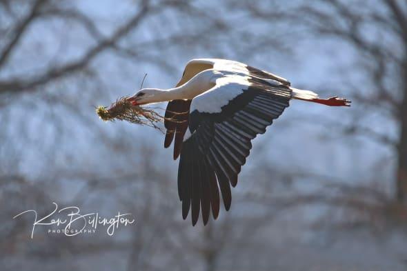 Nest Building - White Stork