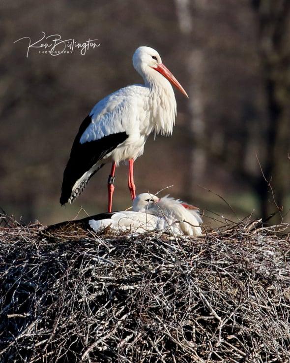 Huge Nest - White Storks