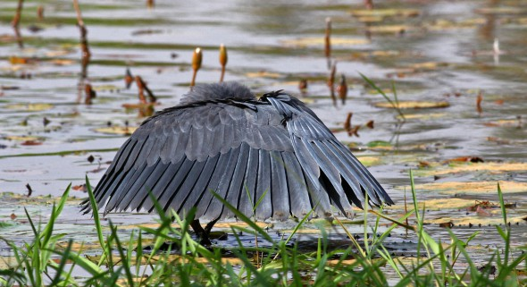 Black Heron Typically Canopy Feeding
