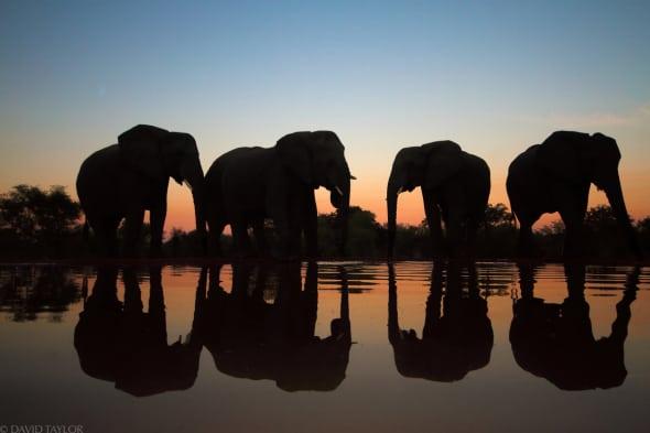 Elephants at Waterhole on Dusk