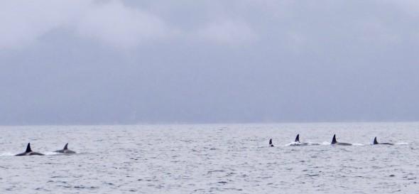 Off-shore Orcas