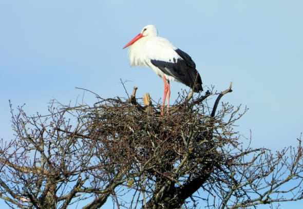 Nesting Great White Stork
